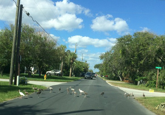 Not all birds get slaughtered at Thanksgiving: Flagler Beach's Coralee Leon sent us this moment on South Daytona Avenue over the weekend, where a convoy of birds halted traffic until the birds were done ambling across.