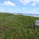 """What it's all about: one of the three dune """"remnants"""" still in contention along State Road A1A in Flagler Beach. (© FlaglerLive)"""