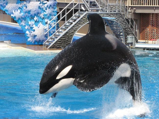 Seaworld orcas killer whales abuse