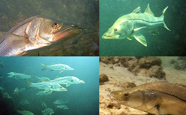 Male? Female? Snook are protandric hermaphrodites: they like to sitch around. (Florida Fish and Wildlife Conservation Commission) Florida snook population mortality