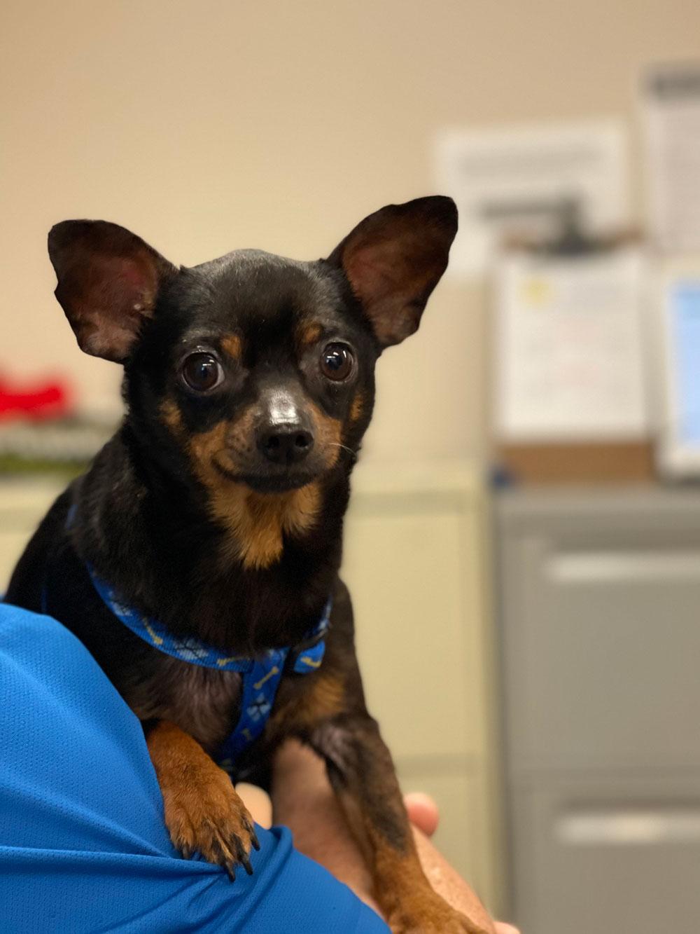 Tito, recovered. (Humane Society)
