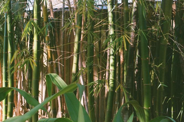 七夕の竹を長持ちさせるための処置