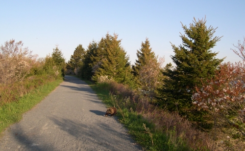 porcupine leaving trail