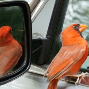 Cardinal at car window