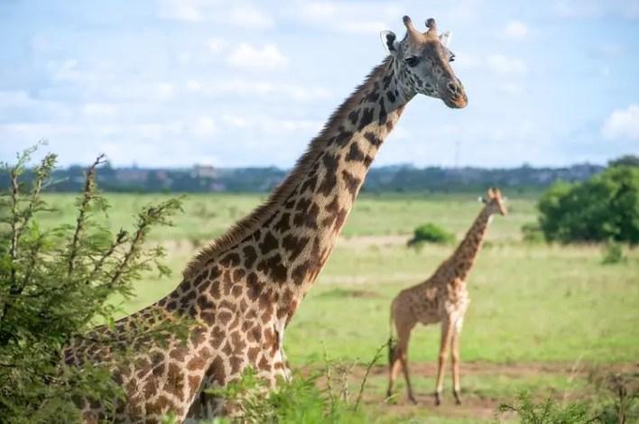 Giraffes in Nairobi National Park, one of Top Kenya Wildlife Parks.