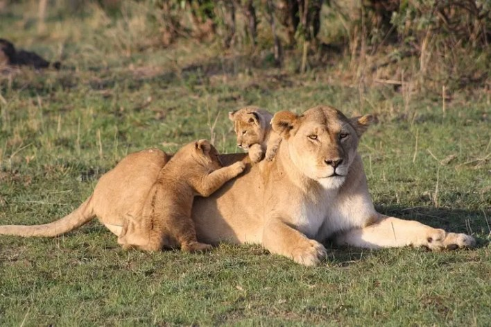 lion family in Masai Mara