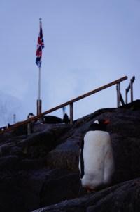 British Gentoo Penguin