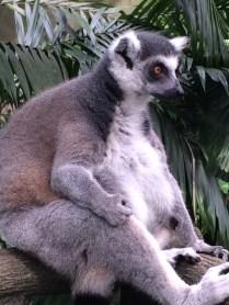 Lemur - Singapore Zoo