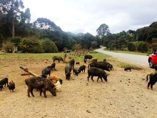 Wild pigs on road 309