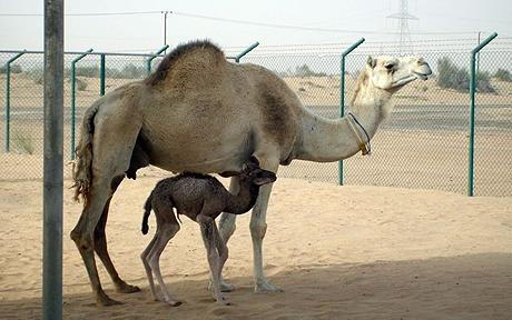UAE-SCIENCE-CAMEL-CLONE
