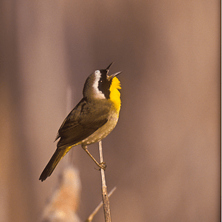 Common Yellowthroat Photo Credit: Jan Wassink