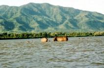 Hippo's on the Sandbank
