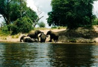 Shoreline Elephants