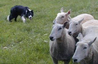 Sheep-Dog-756827