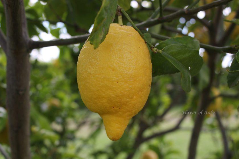Lemons for Lemon Poundcake drizzled with a Lemon Glaze