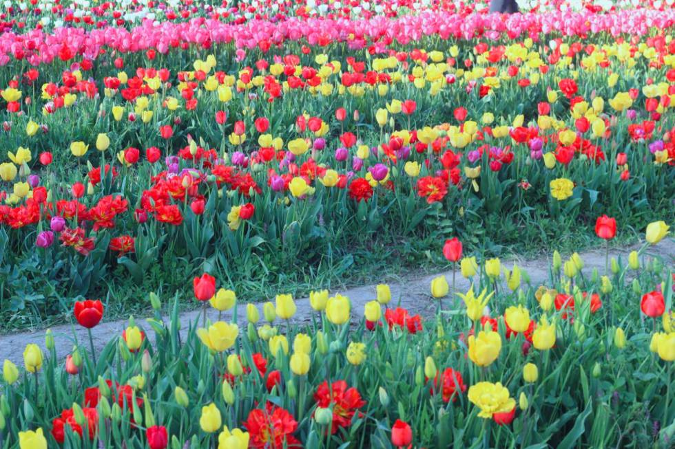 There are footpaths throughout the 4 kilometers of tulips