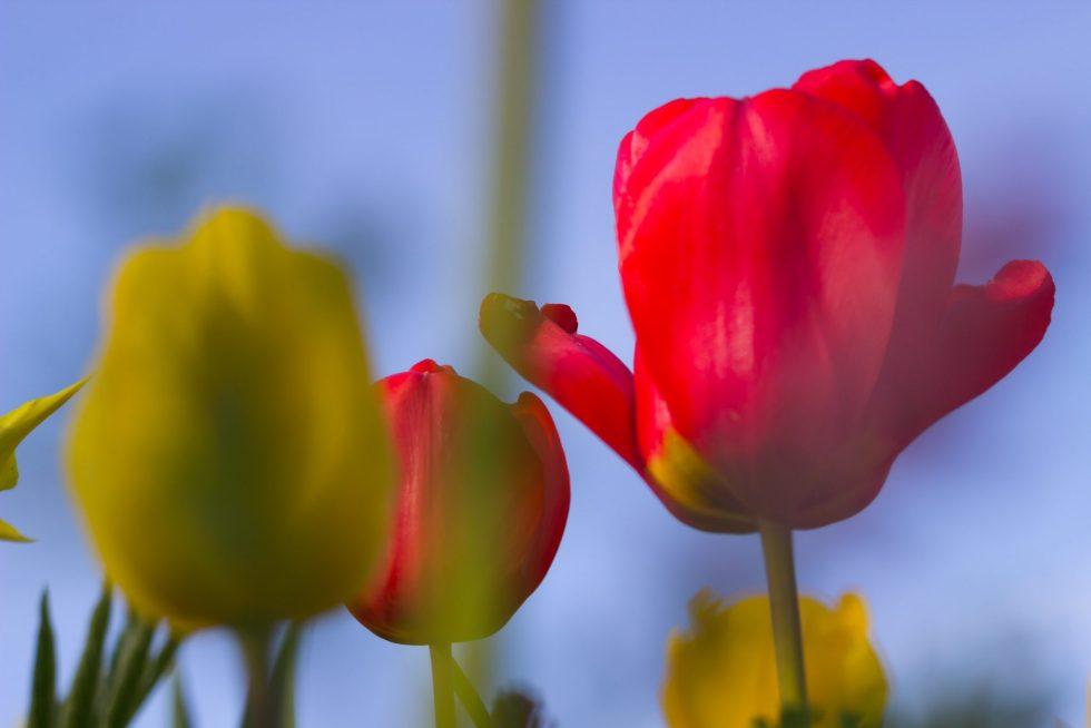 Rome's Tulip Park has some rare varieties on display