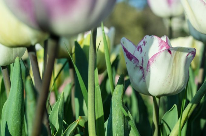 Tulips from the Tulip Park in Rome. there are over 360,000 and over 90 varietals!