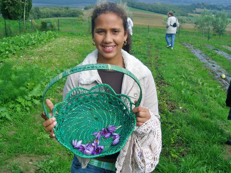 Gathering crocuses to harvest saffron