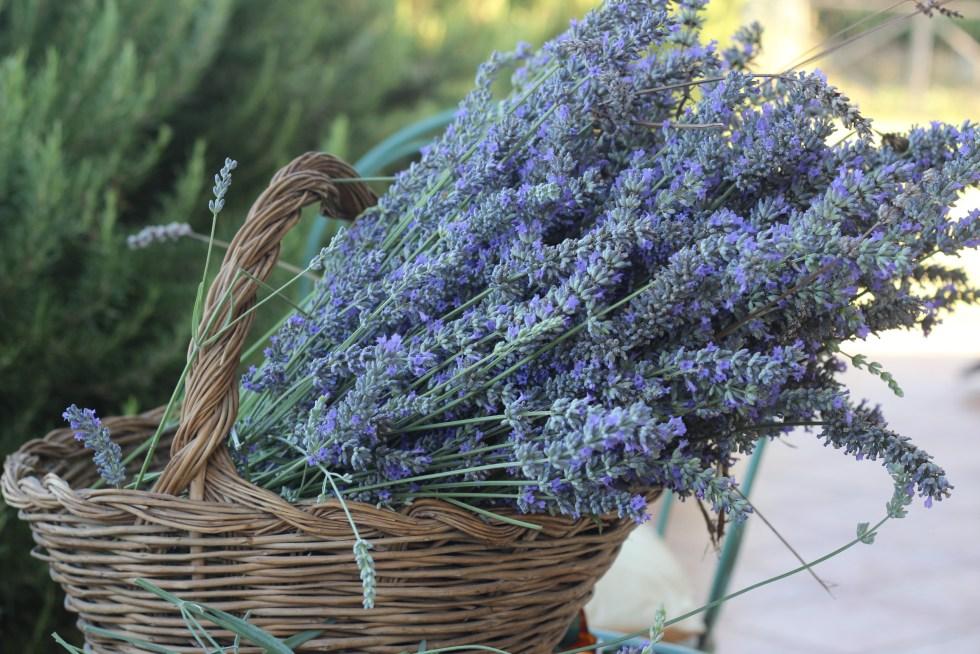 Freshly harvested lavender for Lemon Lavender Cake