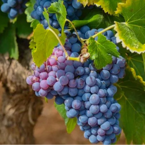 Piedmont red wine grapes on the vine