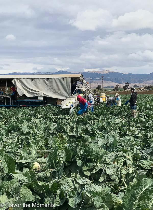 cauliflower harvest conveyor belt