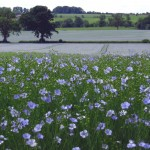 A field of Flax Farm linseed growing in the UK