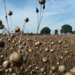 Linseed seedheads ripe