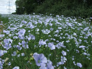 Field of linseed in flower