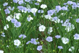 Flax/linseed can have white flowers instead of the usual blue linseed flowers