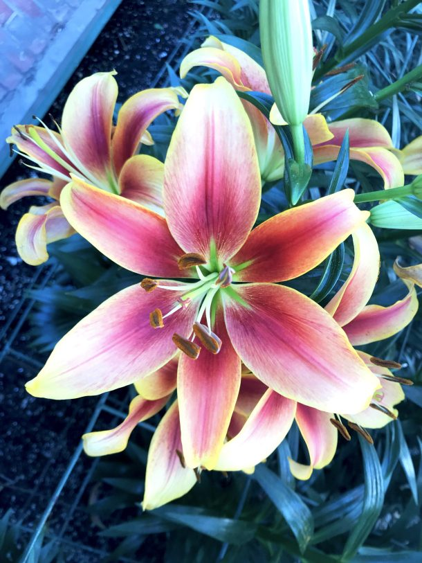 Vibrant orange tiger lily flower at Longwood Gardens Conservatory