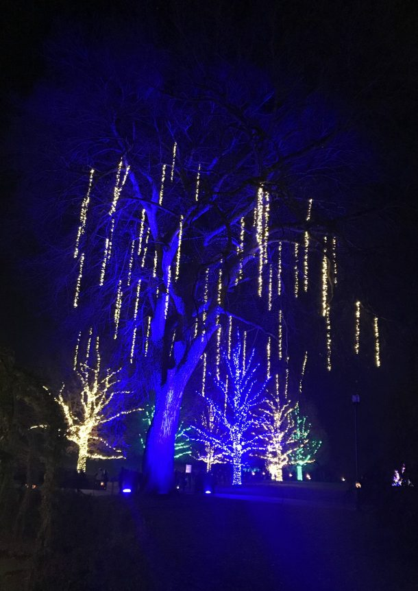Tree lit up with blue and golden lights at Longwood Gardens Holiday Lights