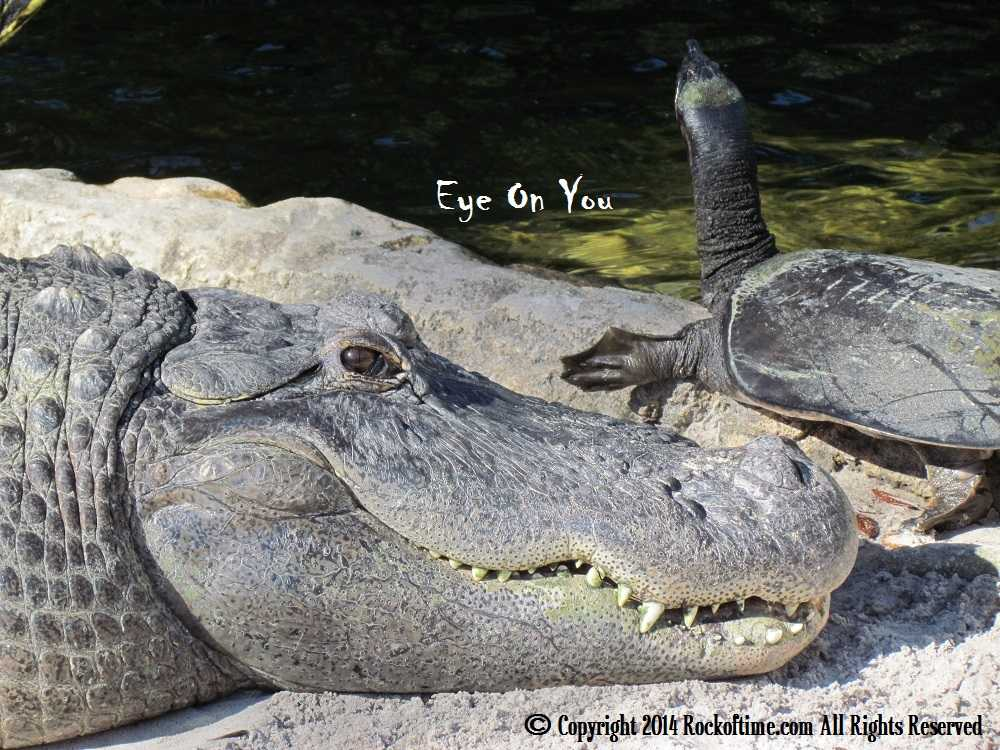 Original pic of Big Florida Alligator with Turtle on Florida Dispensaries medical cannabidiol and marijuana website