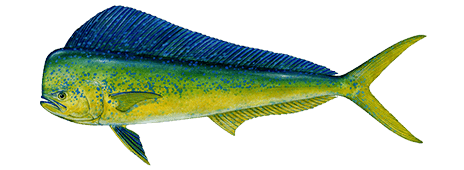 dolphinfish-464x170