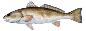 redfish-drum-464x170
