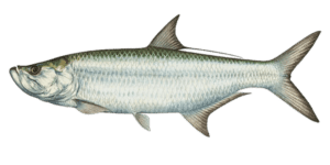 tarpon-species-880x440