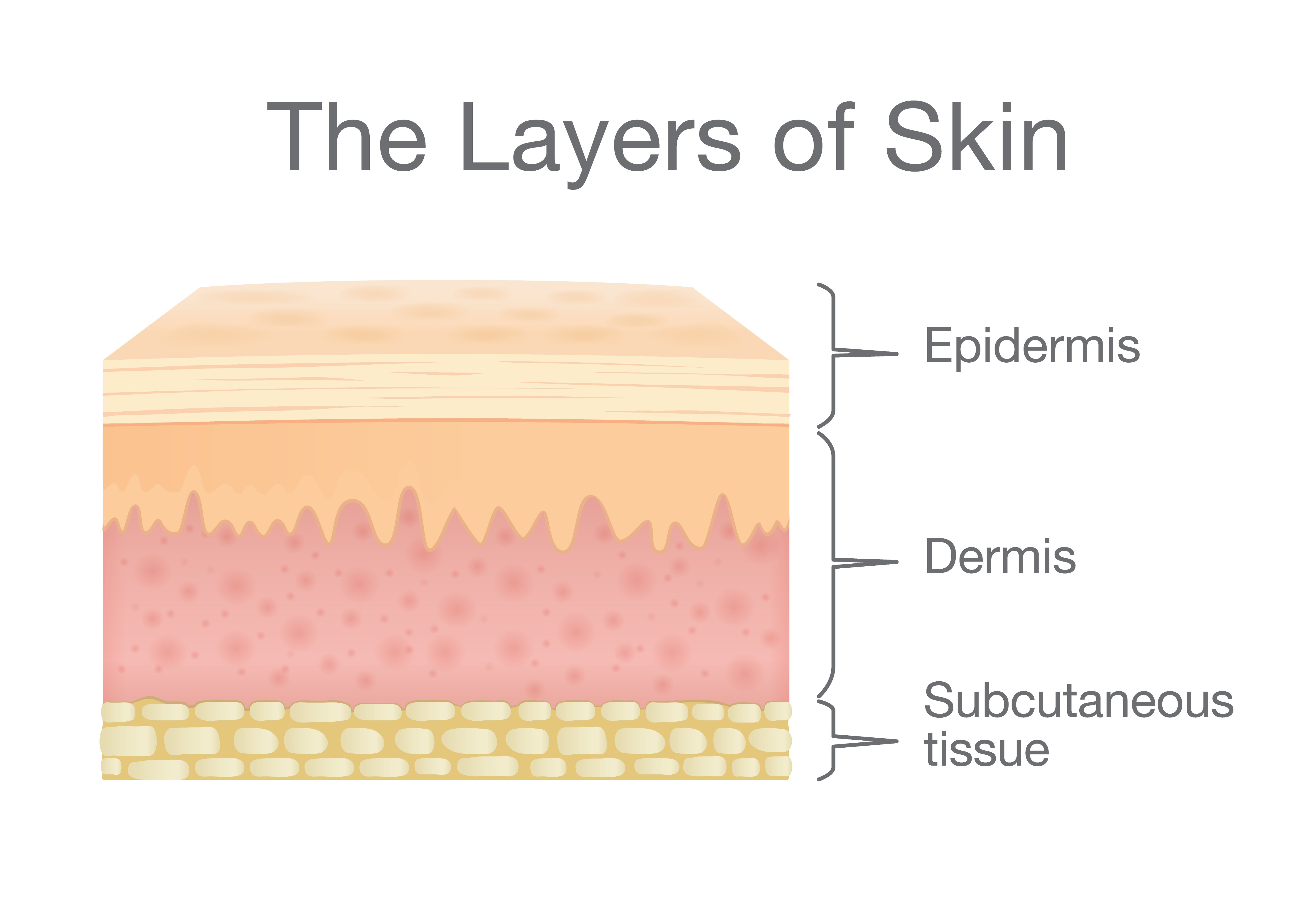 The Three Layers Of Skin And Their Functions