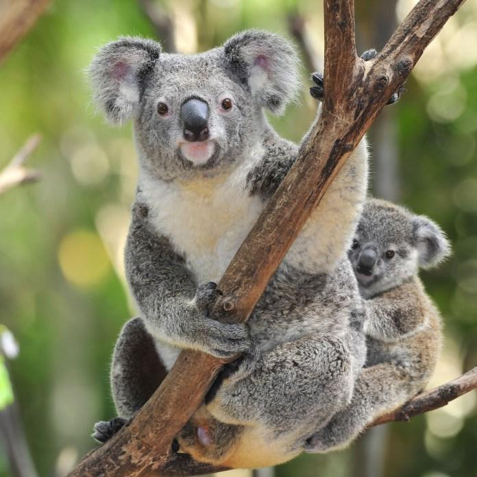 Koala-Bear-With-Baby