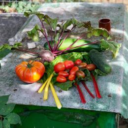 Frisches Gemüse: Tomaten, Krautstiel, Rande, Zucchini und eine Gurke.