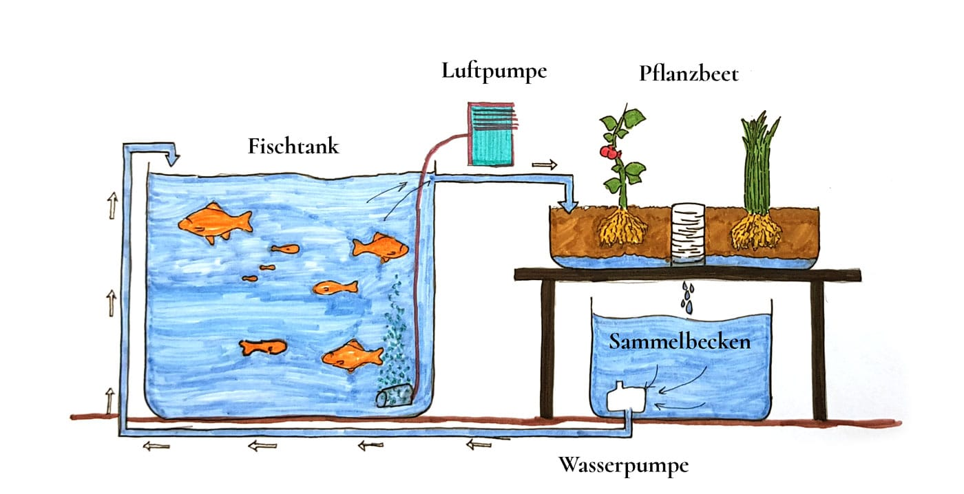 Erklährgrafik - Wie funktioniert ein Aquaponik Kreislaufsystem.
