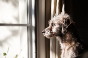 Lonely Dog at Window