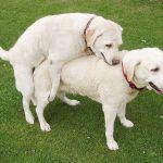 Nesmrtelný savec. Pohlavně přenosná rakovina koluje mezi psy už 6000 let.