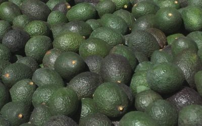 Avocados at Del Valle