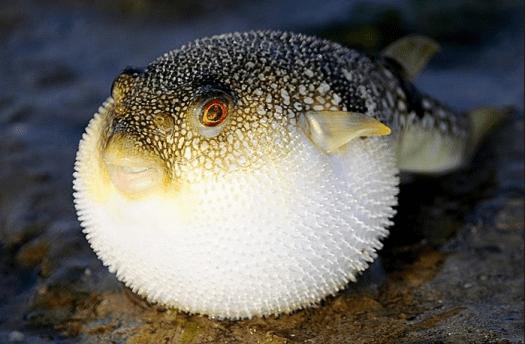 fugu-fish