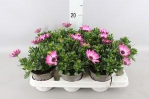 Osteospernum rose