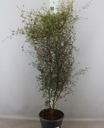 Styphnolobium japon. 'Little Baby'