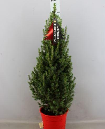 Picea glauca 'Perfecta' (petit)