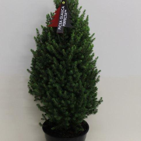Picea glauca 'Perfecta' (moyen)
