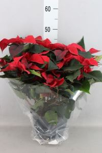 Euphorbia pulc. 'ChristFeel' 50cm