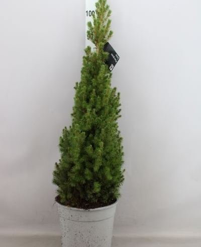 Picea glauca 'Conica'
